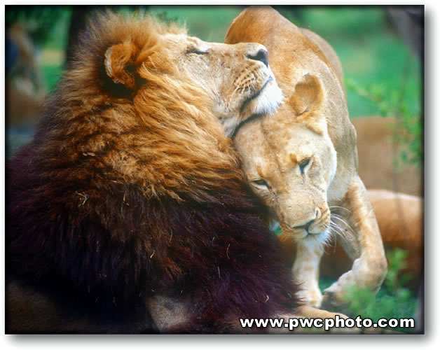 pictures of lions and lionesses. of a lion and his lioness